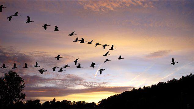 La migration des oies