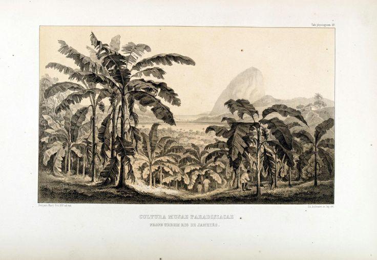 "carl friedrich philipp von martius - illustration plate from ""flora brasiliensis"": ´cultura musae paradisiacae, prope urbem rio de janeiro.'"