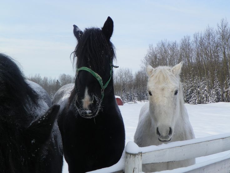 Horses near our home in Fort McMurray, Alberta.