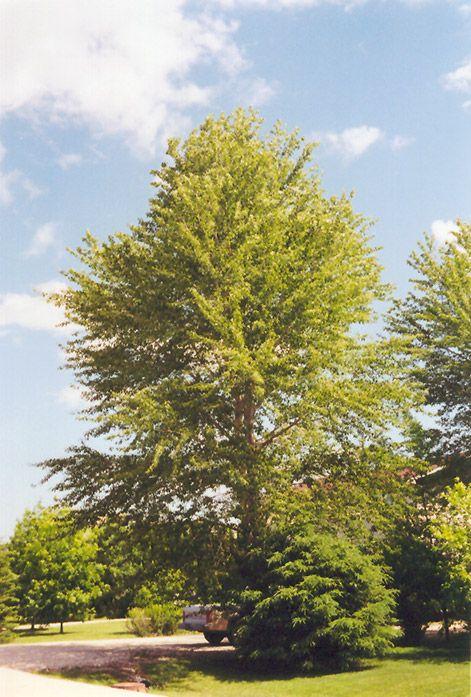 119 Best Populus Images On Pinterest Native Plants