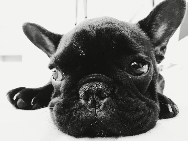French Bulldog - Freyya