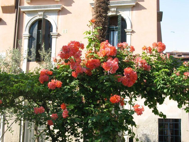 Les roses de la pergola du Jardin Morosini del Giardin