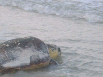 Cape San Blas Fl - Sea Turtle on the beach in front of Barrier Dunes