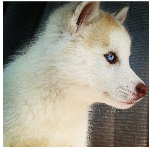 Baby Blue Eyed Husky Puppy For Picture Get Someone To