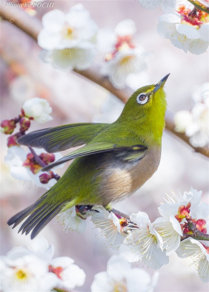 Japanese White-eye(Zosterops japonicus) native range includes South Asia, Japan, China, Taiwan and the Philippines