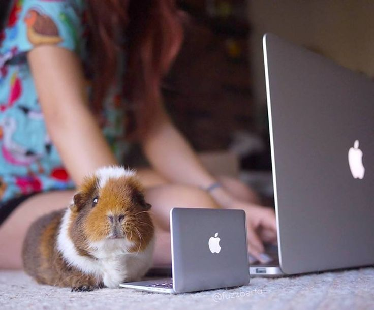 A guinea pig and its owner using computers!                                                                                                                                                     More