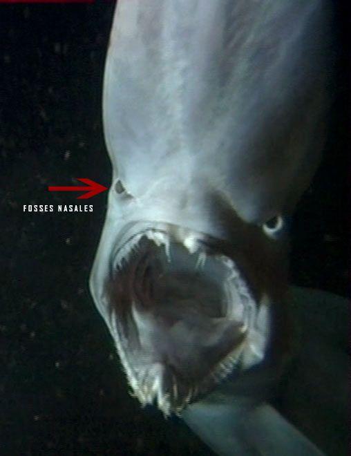 Requin lutin