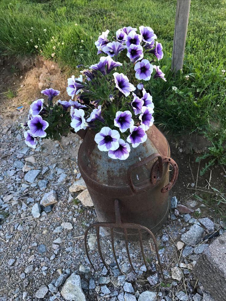 Rostig mjölkkanna med petunia 💜