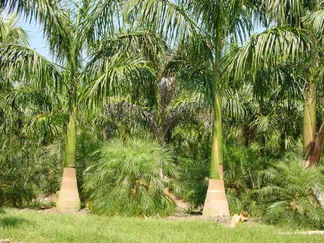 Las 25 mejores ideas sobre tipos de palmas en pinterest - Tipos de palmeras de interior ...