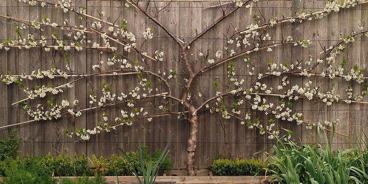 ♕ mature fan-trained plum tree
