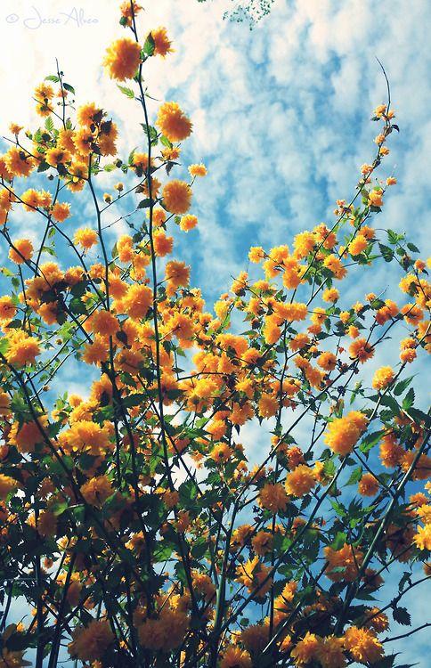 beautiful kerria saffron yellow flowers, hello summer