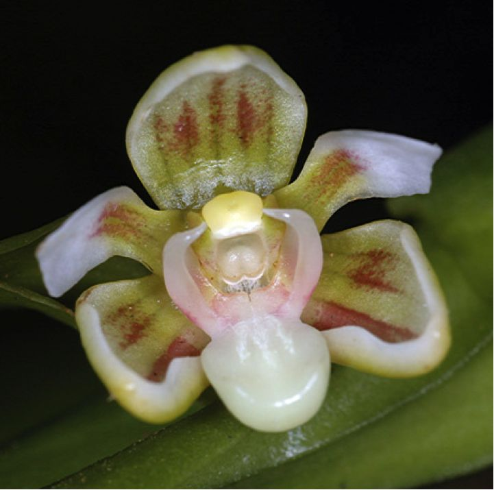 The Cadetia Kutubu is found near PNG's Lake Kutubu. This unique flower appears to greet aspiring pollinators with what looks like a sleepy yawn. https://gudmundurfridriksson.wordpress.com/2015/11/06/exotic-orchids-of-png/