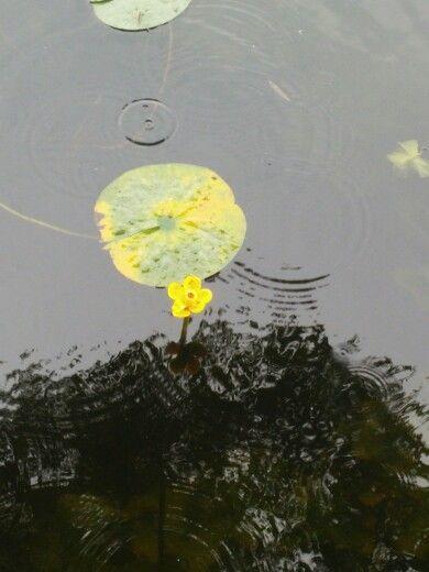 Schöne gelbe blumen im wasser~!