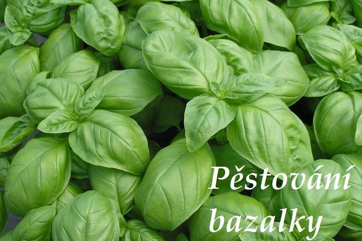 bazalka pestovani vyuziti v kuchyni recepty