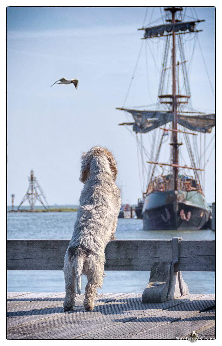 Petit Basset Griffon Vendeen overlooking the harbor of Hoorn. The Netherlands