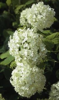 Hortensia hortensia 'Annabelle' bloeit op eenjarige scheuten van juli tot en met augustus. Elk voorjaar dient u deze struik diep terug te snoeien op twee tot drie ogen en dunne twijgen te verwijderen. Hierdoor ontstaat op den duur een goed gevormd takkenskelet.