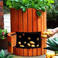 One potato. Two potato. Grow 100 lbs. of spuds in a beautiful barrel! Here's how...