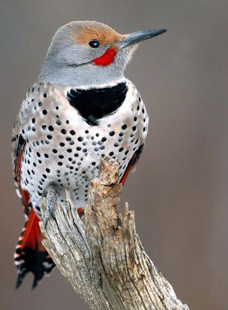 woodpeckers of floridaBirds Pictures, Northern Flicker, Florida Woodpecker, Colors Birds, Beautiful Birds, Nature Beautiful, Flicker Woodpecker, Animal, Feathers Friends