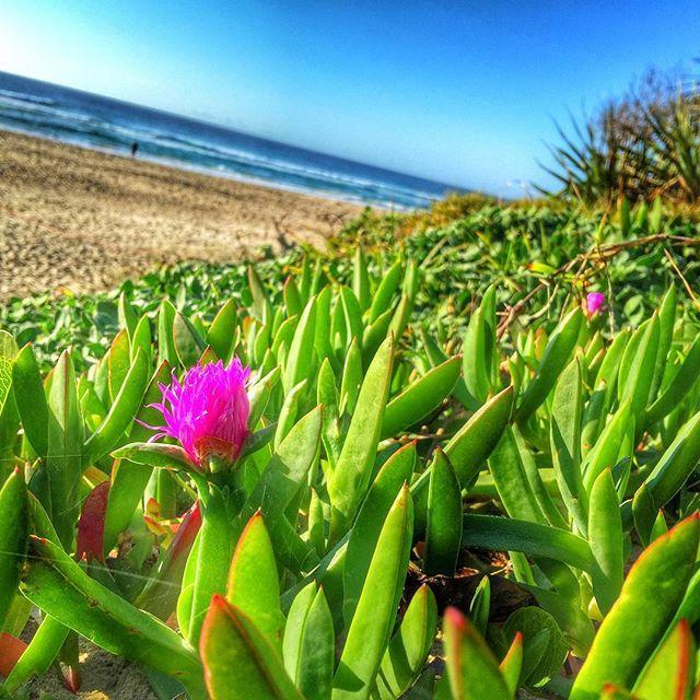 Beautiful morning at Peregian! #peregianbeach #visitnoosa #visitsunshinecoast #thisisqueensland #seeaustralia #airbnb #snapseed #beachlife #beach #surf #ocean #sunrise ☀️