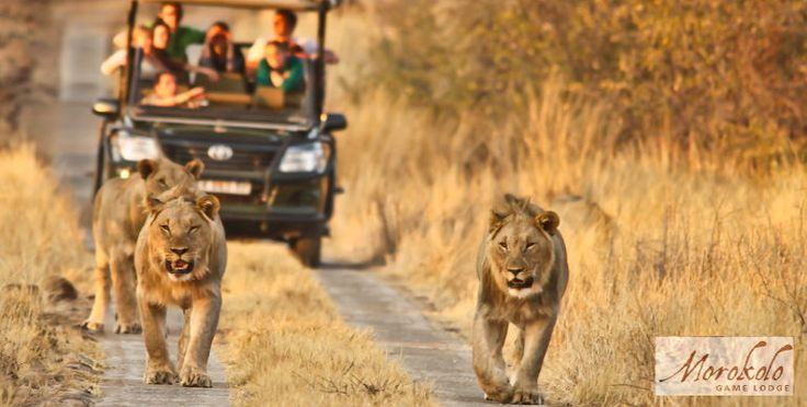 Lions on a game drive with Morokolo Lodge