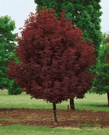 Acer platanoides 'Crimson Sentry' - Maréchal - Tuin