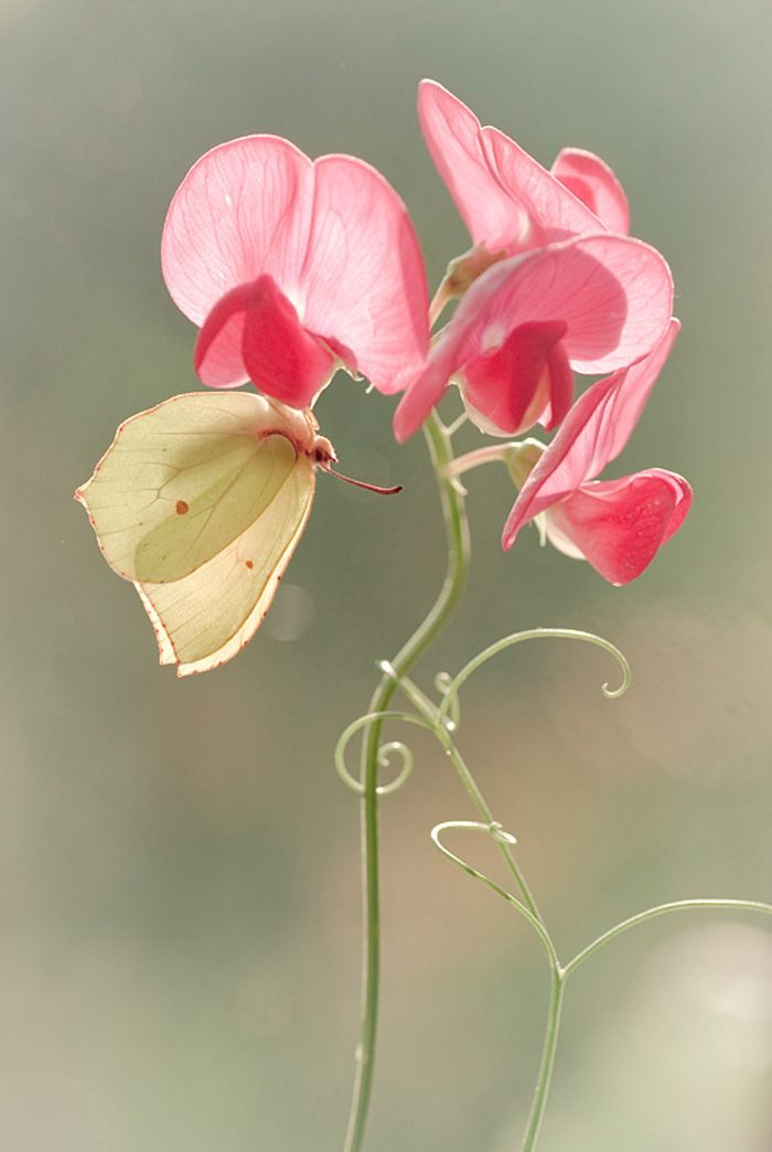 sweet pea: Delicate twining vine. It can get aggressive and pop up many different places. Difficult to pull from the roots, but still worth having. Trellis it or it will grow over and pull down other perennials.