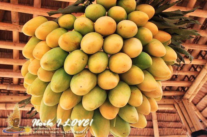 marketing of guimaras mangoes to the 8 things to do in guimaras besides island-hopping this island off iloilo is definitely worth a visit  buy fresh mangoes at the guimaras public market.