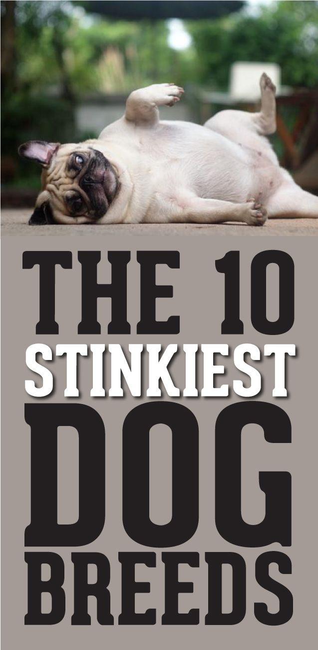 The 10 Stinkiest Dog Breeds! http://theilovedogssite.com/the-10-stinkiest-dog-breeds/