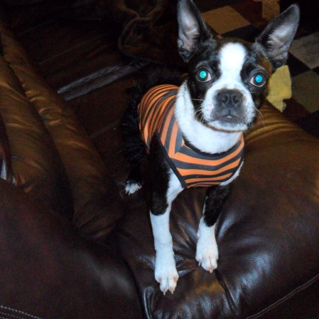 my boston terrier carli in a halloween costume - Halloween Costumes In Boston