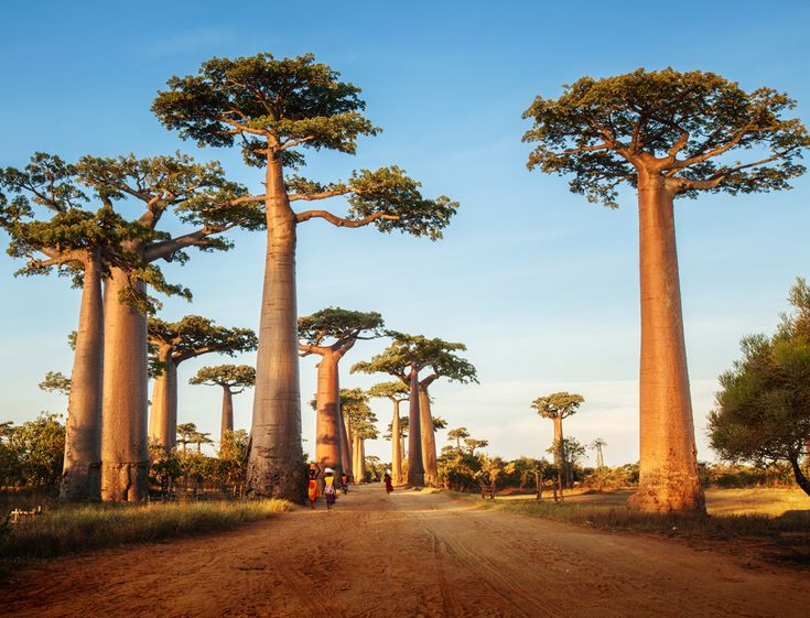 baobab trees africa the open road stock photo