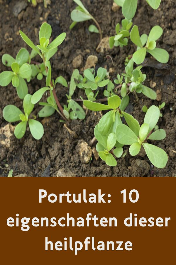Portulak: 10 eigenschaften dieser heilpflanze