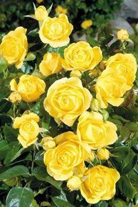 Golden Showers Roses