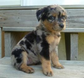 Dakota is an adoptable Australian Cattle Dog (Blue Heeler) Dog in Crocker, MO.