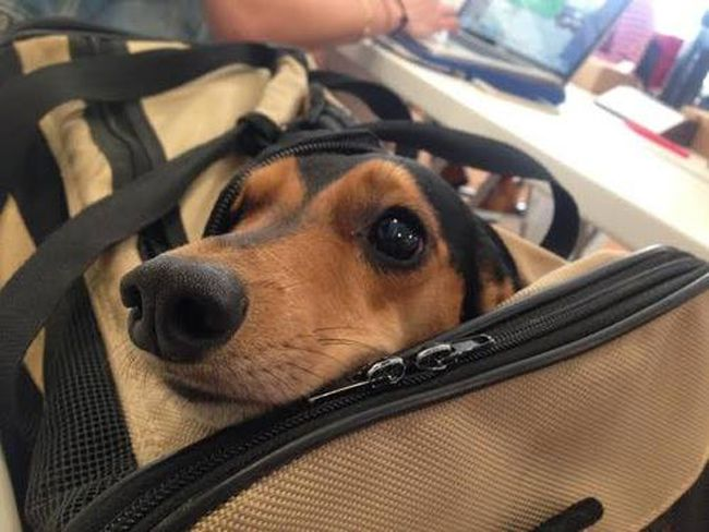 """19 Things Only Dachshund Parents Understand.  Yes...this is the """"I can fit in your luggage so you'll take me with you, right?"""" look.  so adorable :)"""