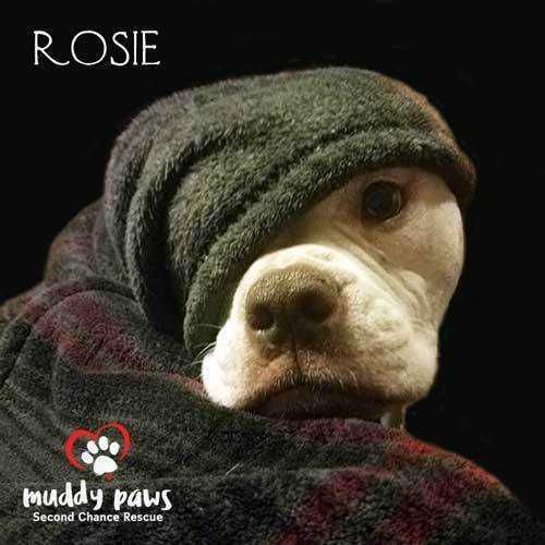 Meet Rosie (American/English Bulldog) - Courtesy Post, an adoptable American Bulldog looking for a forever home. If you're looking for a new pet to adopt or want information on how to get involved with adoptable pets, Petfinder.com is a great resource.