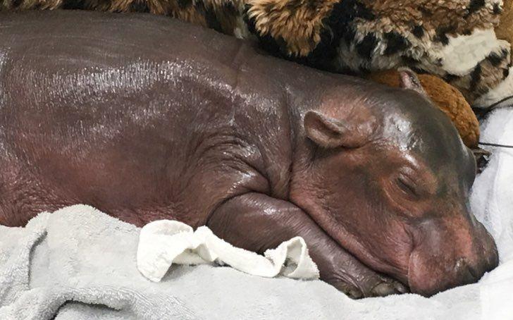 Esta pequeña hipopótamo nació prematura y el video de sus primeros pasos te conmoverá