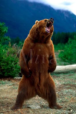 Grizzly Bear Standing | Bear Tattoo Ideas | Pinterest ...