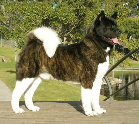 Miss my Akita Sir Wyde Glyde Clyde! RIP. this is not him but he was a brindle Akita.