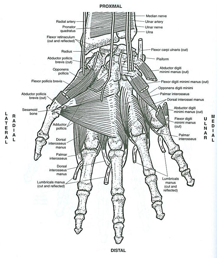 Pin By Biblioteca Universitaria De Oz On Ilustrar Conocimiento Anatomy Coloring Book Anatomy Images Coloring Pages