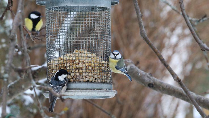 Lumi ja kylmyys saa monet linnut hakeutumaan ihmisten tarjoamille ruoka-apajille. Lintulaudoilla ja ruokintapaikoilla vierailevien lintujen seuraaminen on mukavaa puuhaa. Yle Luonto listasi useimmin nähdyt talvilinnut.