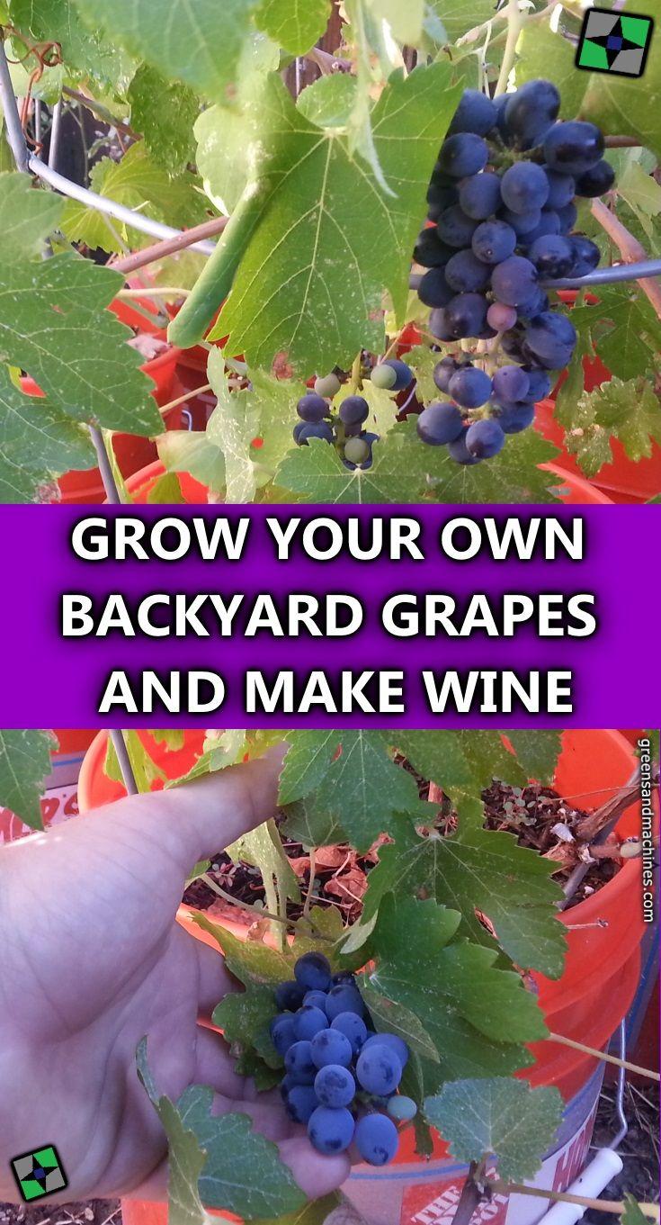 11 best sultana thompson seedless grape images on pinterest