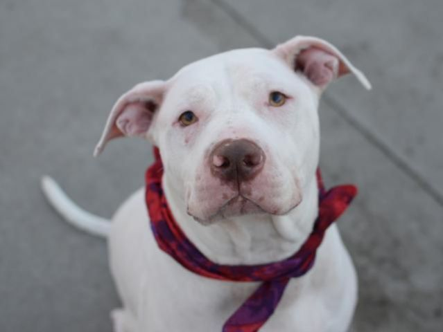 ROCKY- A1046268 SUPER URGENT! $150 DONATION TO THE NEW HOPE RESCUE THAT PULLS HIM! TO BE DESTROYED TONIGHT 8/10/15 OR TOMORROW, THERE STILL IS TIME TO SAVE THIS PRECIOUS BOY THAT WAS DUMPED AT THIS SHELTER TO DIE! ROCKY IS COMPLETELY TERRIFIED, SCARED, HEARTBROKEN N FEELING SO LOST, BUT WE R HIS LIFESAVERS N CAN SAVE HIM FROM A CERTAIN DEATH! WONT U PLEASE HELP? HE IS PUBLICLY ADOPTABLE:) HE DESERVES LOVE, LIFE N A LOVING FOREVER HOME, WONT U PLEASE OPEN UR HEART N GRANT HIS LAST WISH?YES 2…