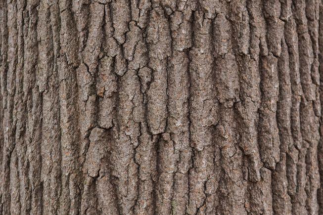 How To Identify A Tree By Its Bark Tree Bark Identification Tree Leaf Identification Sassafras Tree