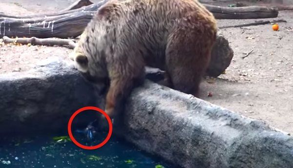 A Crow Was Drowning Until This Bear Did Something To Save His Life. This Is An Amazing Video!