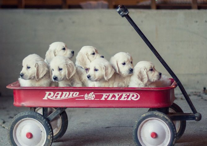 White Golden Retriever Puppies for Sale: Choosing a Healthy Pup - #GoldenRetrievers #Puppies for Sale!