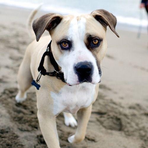 Lenny, American Bulldog (7 y/o), Crissy Field Beach, San Francisco