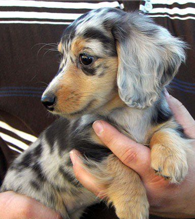 Australian Shepherd Daschund (really? Great mix!....... Actually it is probably a long haired Double Dapple Dachshund.