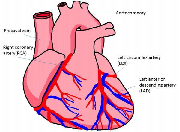 human heart arteries diagram human heart arteries diagram