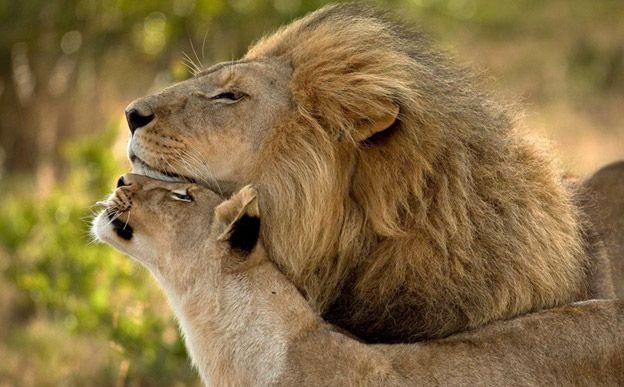 Leão e leoa trocando carícias.