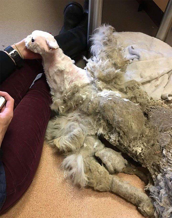 Por descuido llego a tener su peso corporal en pelaje enmarañado y sucio Simbad es un gato persa que se encontró en un estado de negligencia enorme, puesto que estaba cubierto de 5 libras de pelaj…